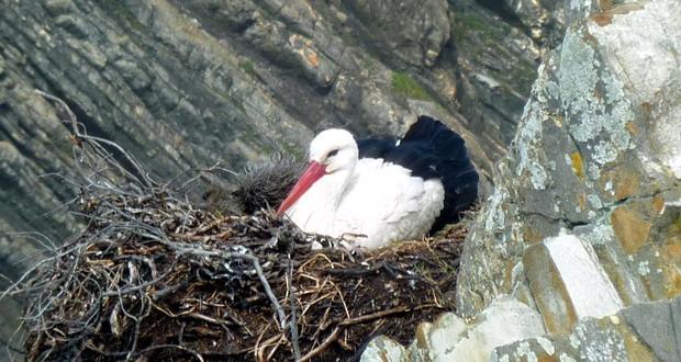 Natur in der Algarve - Ein Storch in seinem Nest in den Klippen