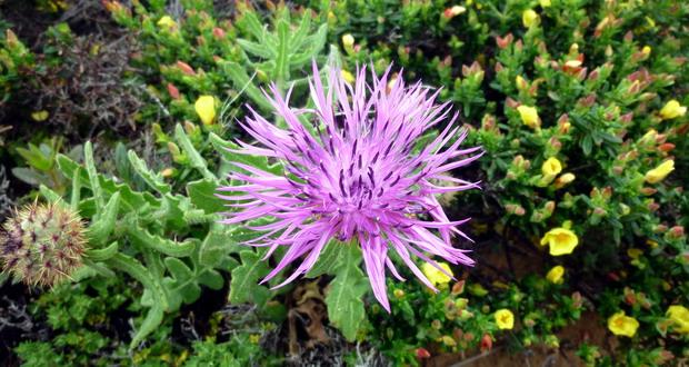 Natur in der Algarve - pinkfarbene Blüte