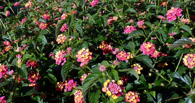Natur in der Algarve - rote Blüten