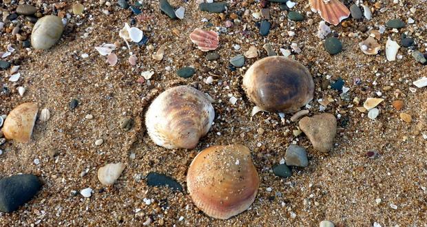 Urlaub in Quarteira an der Fels-Algarve, Muscheln am Strand